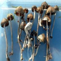 Psilocybe Baeocystis